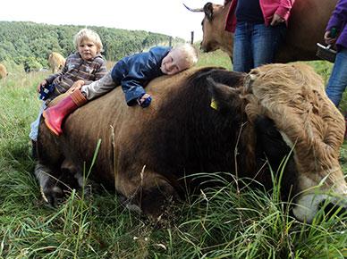 Kuscheln mit Kühen